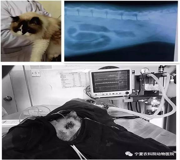 膀胱结石猫实施尿道口