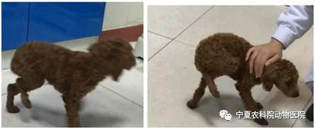 泰迪犬髌骨脱位胫骨结节移位术