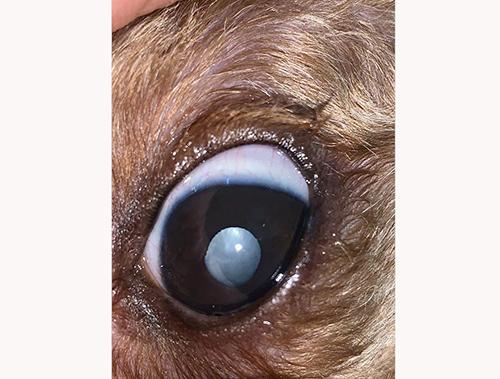 6岁泰迪犬双眼白内障